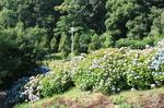 蜻蛉池公園(あじさい)10