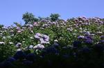 蜻蛉池公園(あじさい)16