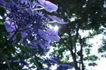 蜻蛉池公園(あじさい)17