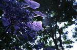 蜻蛉池公園(あじさい)18