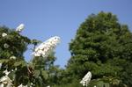 蜻蛉池公園(あじさい)20