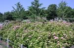 蜻蛉池公園(あじさい)5